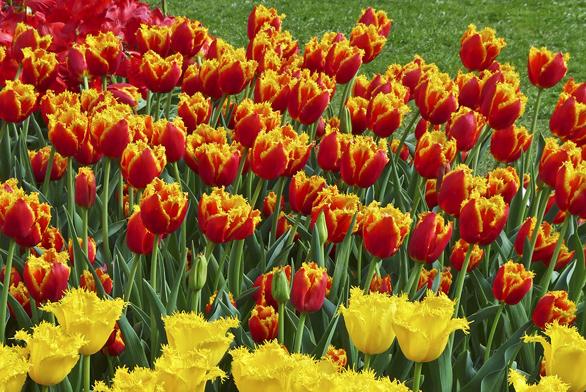 """Tulipány umisťujeme nasvětlé místo (původem step askály) dolehčí apropustné zeminy. Zahradní sorty přesazujeme každé 2–4 roky pokud možno najiné místo (prevence před virovými chorobami, které se projevují žíháním azmenšováním květů). Tzv. botanické adivoké druhy přesazovat netřeba, počítejme však stím, že cibulky přirozeně """"zalézají"""" stále hlouběji."""
