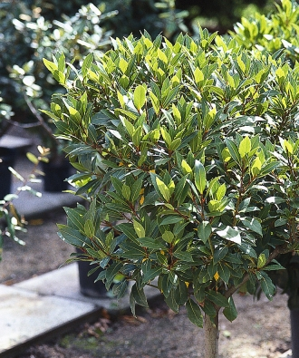 Vavřín vznešený (Laurus nobilis) je na slunných terasách oblíbenou dekorací.
