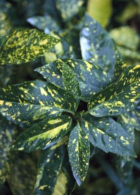 Aukuba japonská (Aucuba japonica) má přirozený souměrný růst, rostlinu nemusíte prostříhávat.