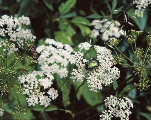 Bršlice kozí noha (Aegopodium podagraria) –nejúpornější, oddenkatý, vytrvalý plevel zahrad, který je ulidských obydlí rozšířen od nížin až do horských oblastí. Křehké oddenky se při pletí snadno odlamují. Po odkvětu se rychle množí isemeny. Nikdy nenechte rostliny odkvést. Na velké zaplevelené části zahrady je možné plochu sbršlicí plošně postříkat na list přípravkem ROUNDUP. Při pletí pečlivě vybíráme každý oddenek.