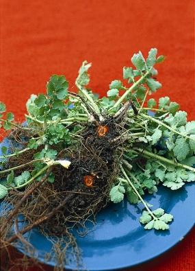Vlaštovičník větší je vytrvalá bylina se žlutými květy, ronící oranžové jedovaté mléko. Byl prošlechtěn idookrasných odrůd. Nastinných místech se snadno rozšíří vsouvislé porosty. Snadná likvidace pravidelným pletím.