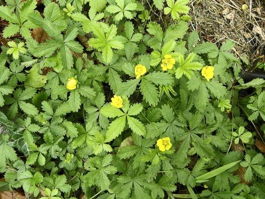 Mochna plazivá neboli mochna pětilístek (Potentilla reptans) je nízká, vytrvalá bylina, která se vpříznivých podmínkách na hlinitých půdách rychle šíří dlouhými lodyhami sdalšími dceřinými rostlinami. Má dlouhý kůlovitý kořen aokolo mateční rostliny bývá připraveno až 30 dalších mladých kořenících rostlin. Odolává herbicidům. Rostlinu je nutno vpíchnout, vyrýt iscelým dlouhým kořenem. Zpřetrženého kořene se snadno znovu obnoví.