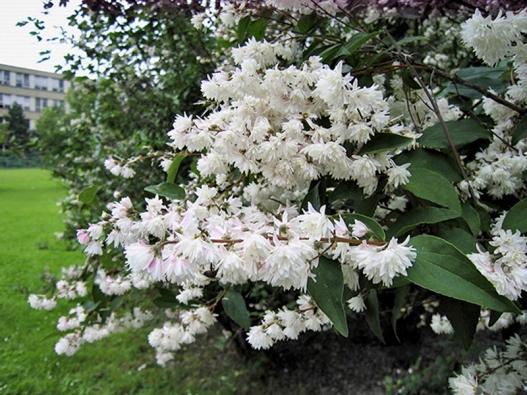 Trojpuk mamotokvětý (Deutzia kalmiiflora)