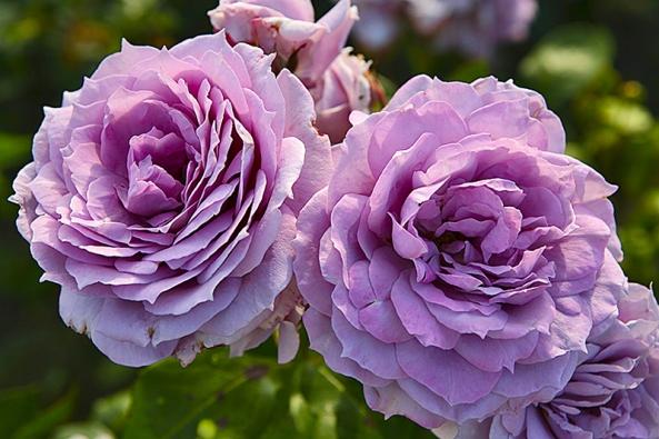 Záhonová růže Novalis je opravdovým kouskem novodobého šlechtění. Snoubí se uní vzácná barva vlila tónech snaprosto zdravým aromanticky plným květem.