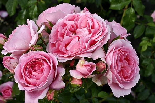 Romantika vdetailu – květ záhonové růže Rosenfee má pohádkovou barvu itvar květu.