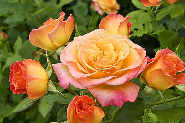 Záhonová růže Gartenspass proteplí vaši zahradu vesvítivých oranžovo-žlutých tónech avynikne rovněž iustřižená dovázy.
