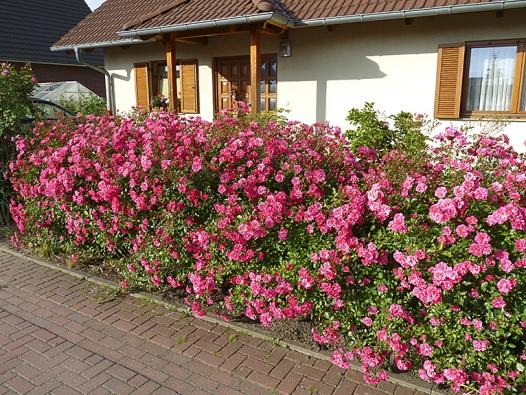 Efektní živý plot zmnohokvěté růže Blühwunder vpředzahrádce vytvoří barevnou clonu apřiláká pohled kolemjdoucích.