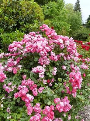 Sadová růže Angela má květ jednoduchý kalíškovitý akvete neúnavně celou sezonu. Je vynikající dokvetoucích živých plotů.