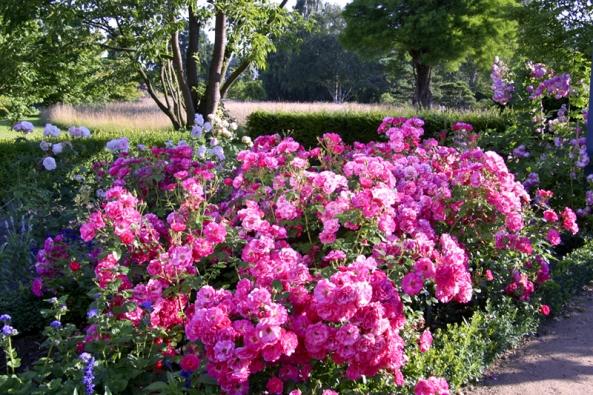 Nenáročná mnohokvětá růže Bad Wörishofen vynikne především vplošných výsadbách ajako lem zahradních cest.