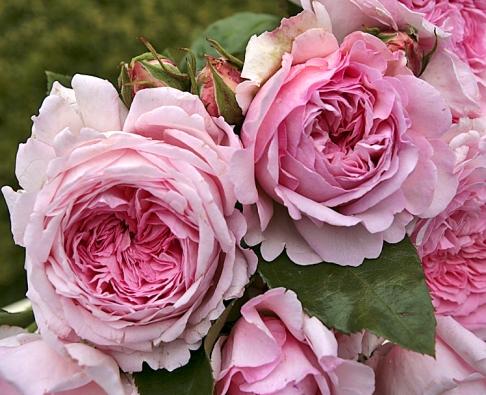 Sadová růže Alexandra-Princesse de Luxembourg vyniká velkými růžovými květy sšarmem historických růží. Dorůstá výšky 120cm.