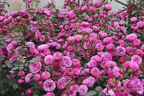 Zneuvěřitelné škály květů růží lze vyzdvihnout kulovité květy záhonové růže Pomponella, které tvoří skutečnou růžovou záplavu. Navíc velmi dobře odolávají rozmarům počasí.