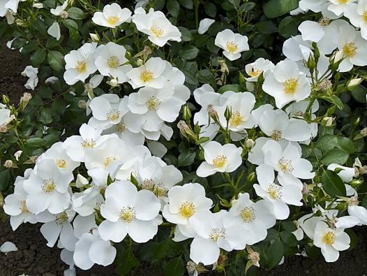 Mnohokvětá růže Escimo zajistí vaší zahradě sněhobílý koberec zjednoduchých kvítků vmnohočetných květenstvích.