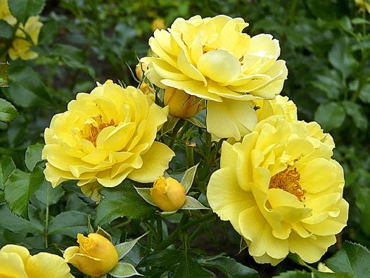 Naprosto zdravá mnohokvětá růže Gelber Engel má sytě žlutou barvu ajemně voní. Dorůstá výšky až 80cm.