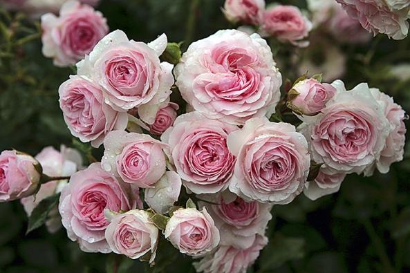 Záhonová růže Larisa se řadí ktěm drobnějším. Vynikne zejména vplošné výsadbě avkombinaci sjemnými květy levandulí.