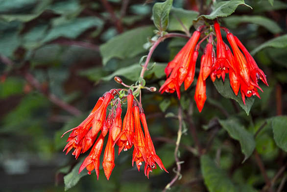 Květy Fuchsia 'Gottingen' připomínají spíše původní plané druhy.