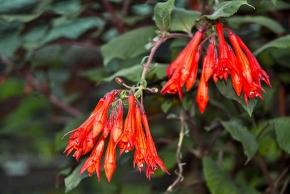 Krásné květy fuchsie