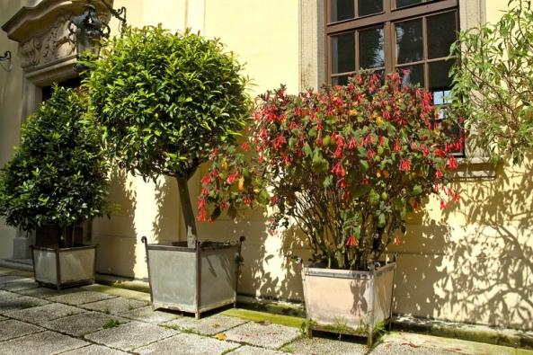 Nádherné staré keře fuchsií obsypané květy patří doklasického sortimentu zámeckých zahrad spolu svavříny, citrusy, oleandry aolověnci.