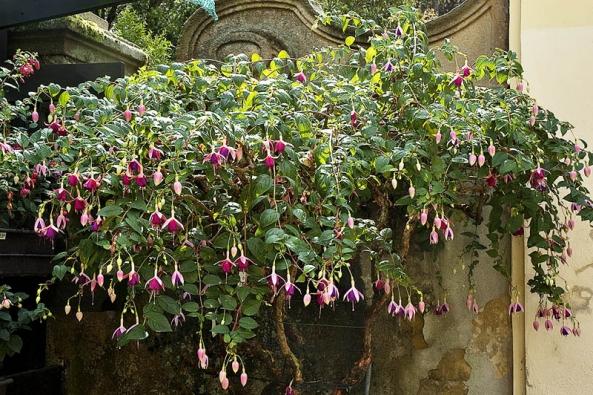 Nádhernou sbírku fuchsií si můžete prohlédnout v zámecké zahradě v Buchlovicích.