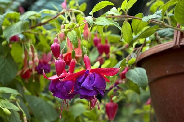 Květy Fuchsia 'Julien Mertz'