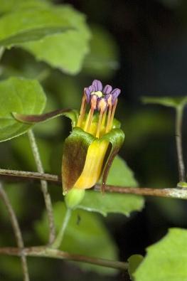 Drobné květy původního plazivého druhu Fuchsia procumbens.