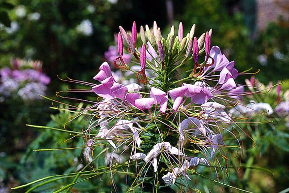 Obrovské hrozny květů postupně rozkvétají po celé léto.