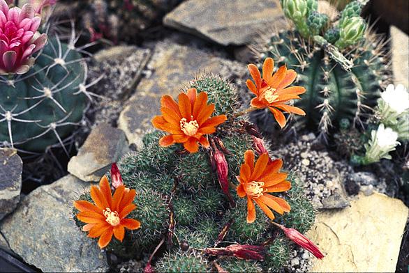 Jakmile se rostliny adaptují, přihnojujte, ale jen hnojivy pro kaktusy a podle nároků druhu!