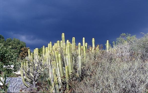 Mohutné pryšce Euphorbia canariensis