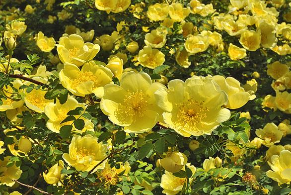Žlutá popínavá růže vytváří zajímavě strukturované dvojité květy.