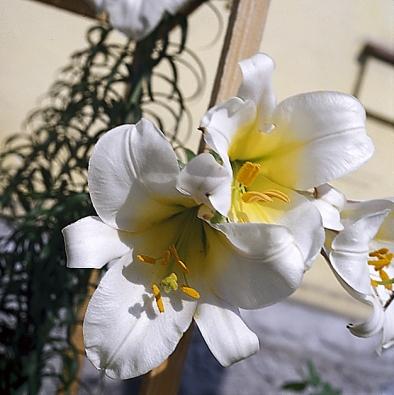 Lilie bělostná byla květinou Panny Marie.