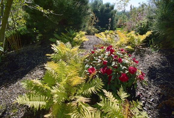 Na svahu podél schodů najdeme vřesy adalší kyselomilné rostliny, převážně rododendrony akapradě.
