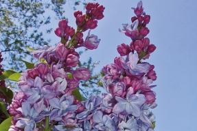 Bohaté květy šeříku