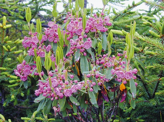 Kalmie patří knejkrásnějším vřesovištním rostlinám. Na rozdíl od pěnišníků je ale méně otužilá avyžaduje chráněnou polohu.