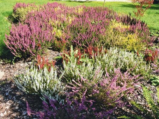 Správně osázené vřesoviště kvete po celý rok několika různými barvami zároveň.