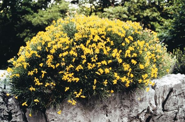 Žluté trsy kručinek rozsvítí vřesoviště vletních měsících.
