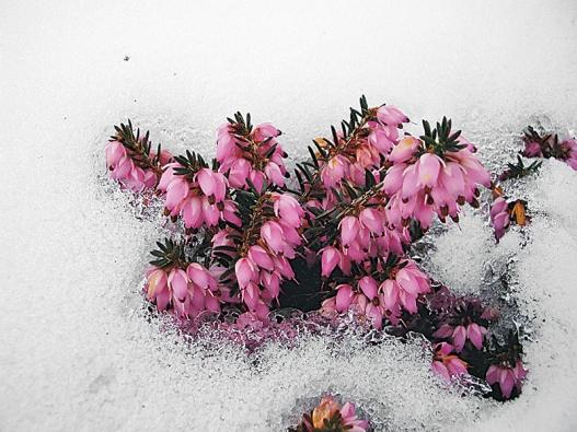 Včasném jaru kvetou vřesovce Erica carnea, kultivary vřesovců Erica vagans kvetou od června do července, koncem léta začínají kvést vřesy, které podle odrůdy kvetou až do pozdního podzimu.