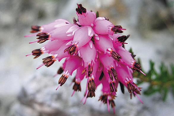 Vřesovec pleťový kvete časně zjara, za příznivého počasí ale rozkvete ivzimě na sněhové pokrývce.