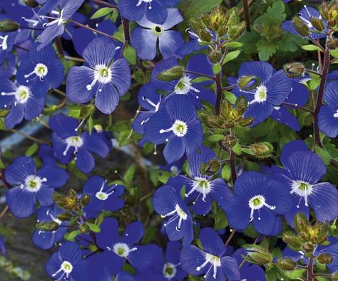 Modrými kvítky se vkvětnu obalí drobný rozrazil (Veronica repens).