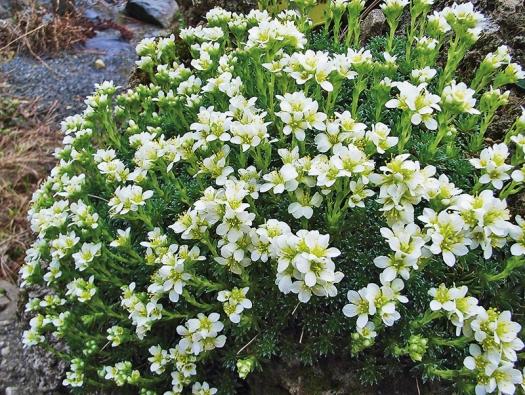Lomikamenů (Saxifraga) existuje  na 300 druhů. Všechny však tvoří mechovité bochánky porostlé mnoha květy.