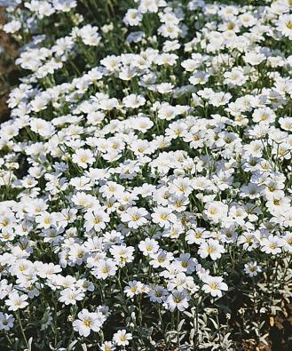 Velmi nenáročný rožec (Cerastium) bohatě kvete ina chudých půdách.