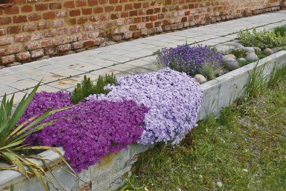 Sesazením různě barevných kultivarů lze  za několik let utkat pestrý koberec.