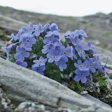 Pomněnečka nízká (Eritrichium nanum) dorůstá maximálně do výšky 4 centimetrů. Kvete včervenci asrpnu.