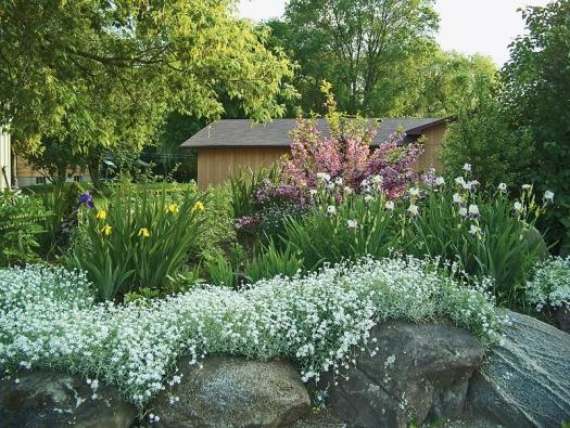 Bíle kvetoucí rožec patří ksilně invazivním rostlinám.