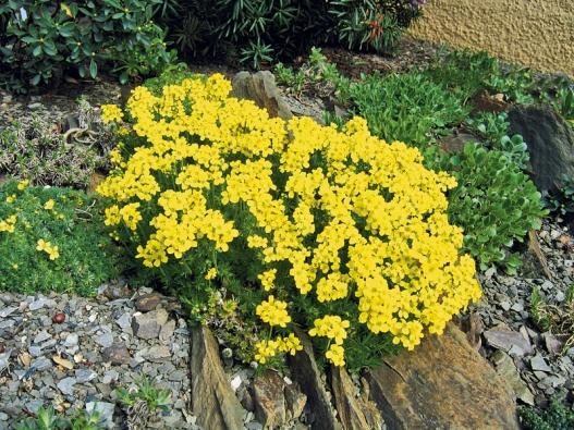 Draba brunifolia má pevně polštářovitý, hustý vzrůst akvete na přelomu dubna akvětna.