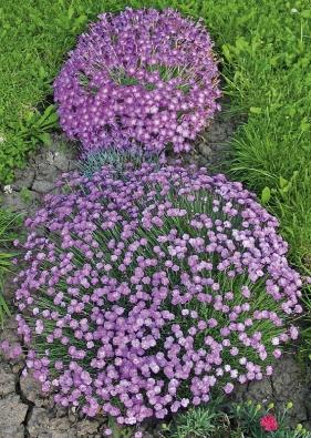 Hvozdíky (Dianthus) vytvářejí  sladce vonící  bochníkovité polštáře.