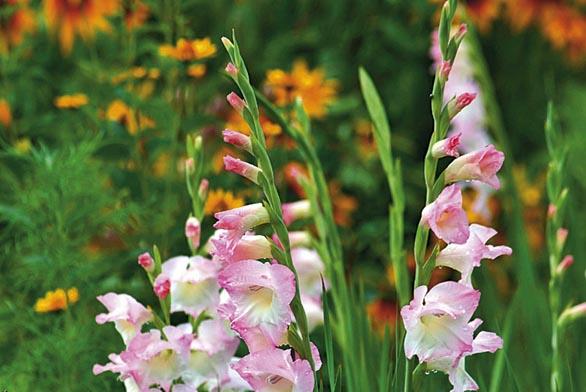 Objednejte si proto nové cibule ladoněk, hyacintů, krokusů, tulipánů a dalších cibulovin...