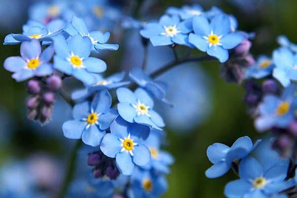 Pomněnka (Myosotis alpestris) je romantická jarní kytička, jejíž husté nízké keříky (0,15–0,2 m) se hodí do nádob, záhonů irabat. Nádherně vypadá třeba záhon modrých arůžových pomněnek sbílými tulipány.