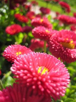 Sedmikráska (Bellis perennis) znáte ztrávníků. Ty zahradní ale mají mnohem větší květy – poloplné, plné, od bílé po sytě rudou. Jsou velmi nenáročné, atak se často sázejí ina veřejná prostranství. Kvetou od března do září.