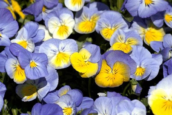 Nejoblíbenějšími zahradními dvouletkami jsou macešky (Viola x wittrockiana a Viola cornuta).