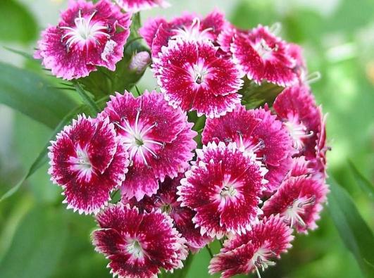 Hvozdík bradatý (Dianthus barbatus) se pěstuje již stovky let. Má nižší trsy (0,2–0,5 m), na stanovišti vydrží iněkolik let, ale spolehlivě kvete jen druhý rok po výsevu, proto se pěstuje jako dvouletka. Květenství mívají barvu bílou, červenou, modrofialovou arůžovou, pěkně voní. Kvete od května do července.