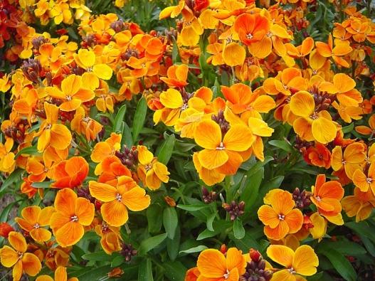 Chejr vonný (Erysimum cheiri) je mezi zahrádkáři nazýván zimní fiala. Polokeře vysoké 0,4–0,7 m mají pěkně lesklé listy ahroznovitá voňavá květenství. Barvy mohou být bílé, růžové amodrofialové, ale nejveselejší jsou ohnivě žlutooranžové odrůdy. Kvetou od dubna do června.
